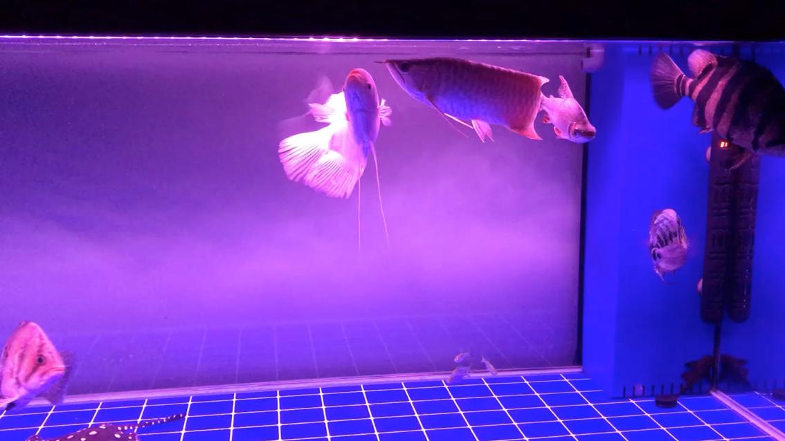绵阳哪个水族店有帝王三间鼠鱼这是辣椒还是超血