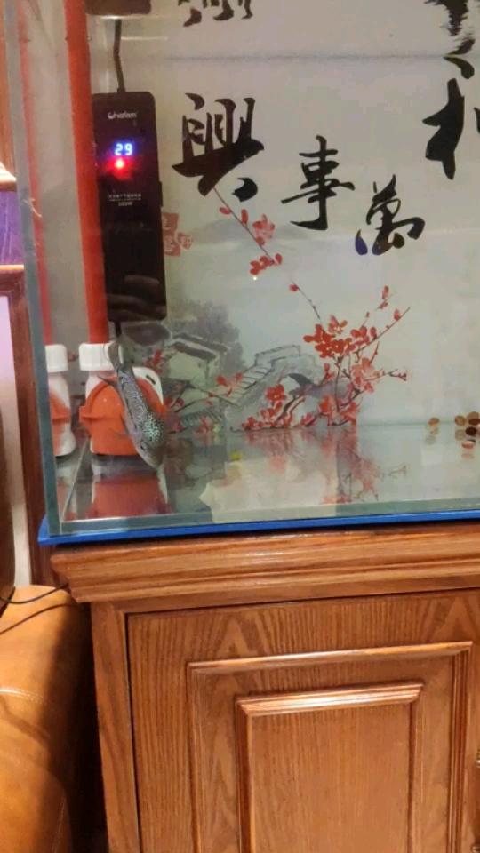 绵阳水族箱厂家批发罗汉鱼鸿运 绵阳龙鱼论坛 绵阳水族批发市场第1张