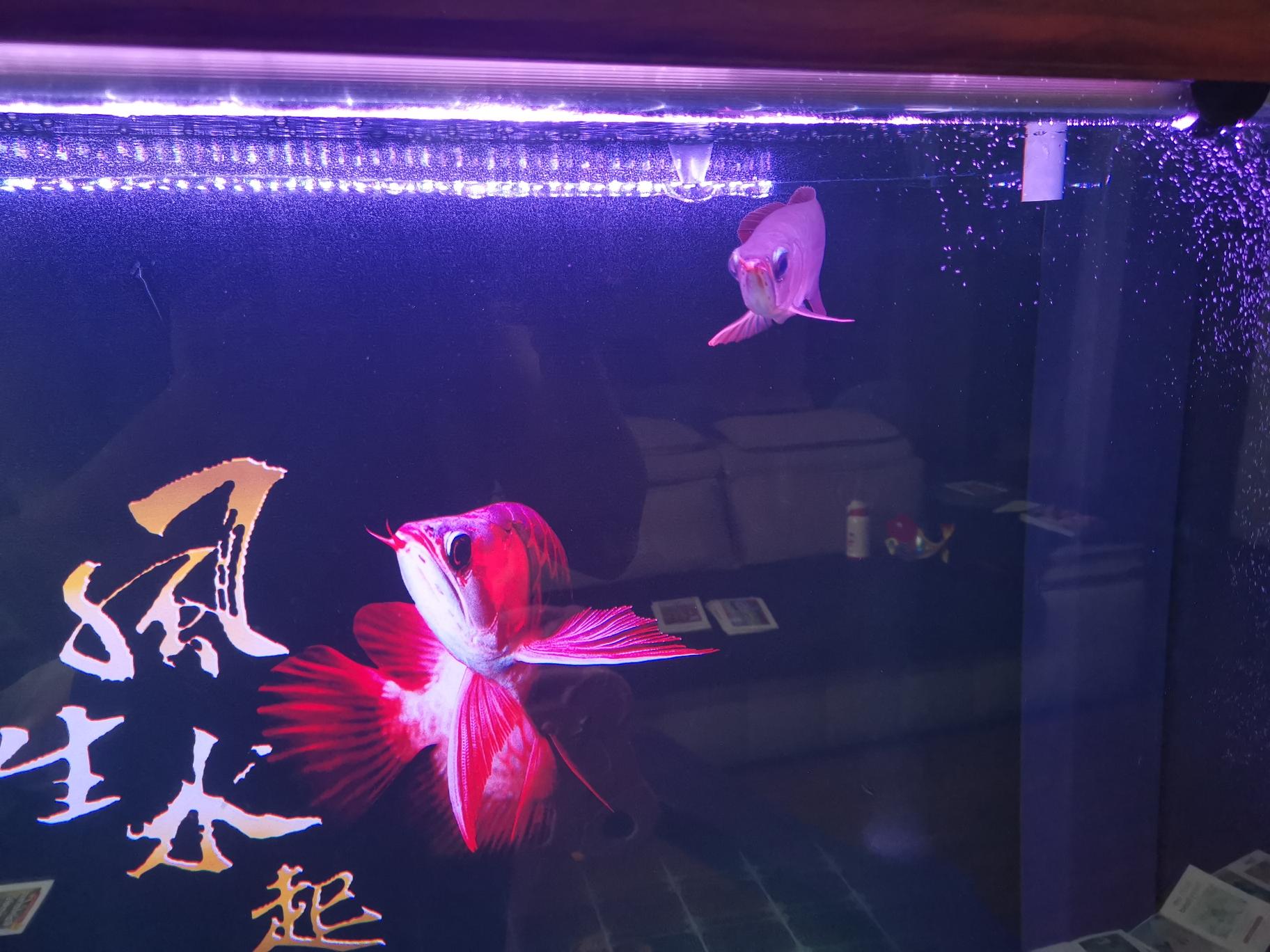 绵阳海鲜缸定做签到打卡红龙十二天 绵阳水族批发市场 绵阳水族批发市场第2张