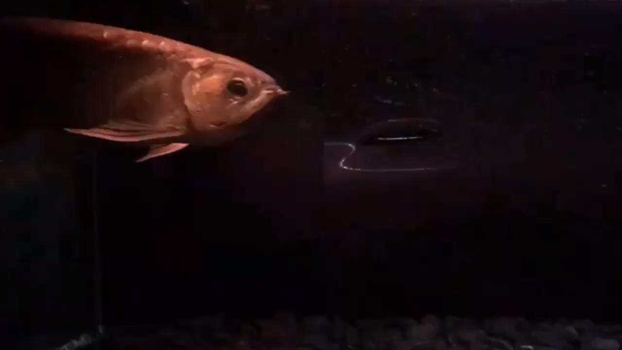 十几年前买回来养到现在就不知道他的品种 绵阳龙鱼论坛