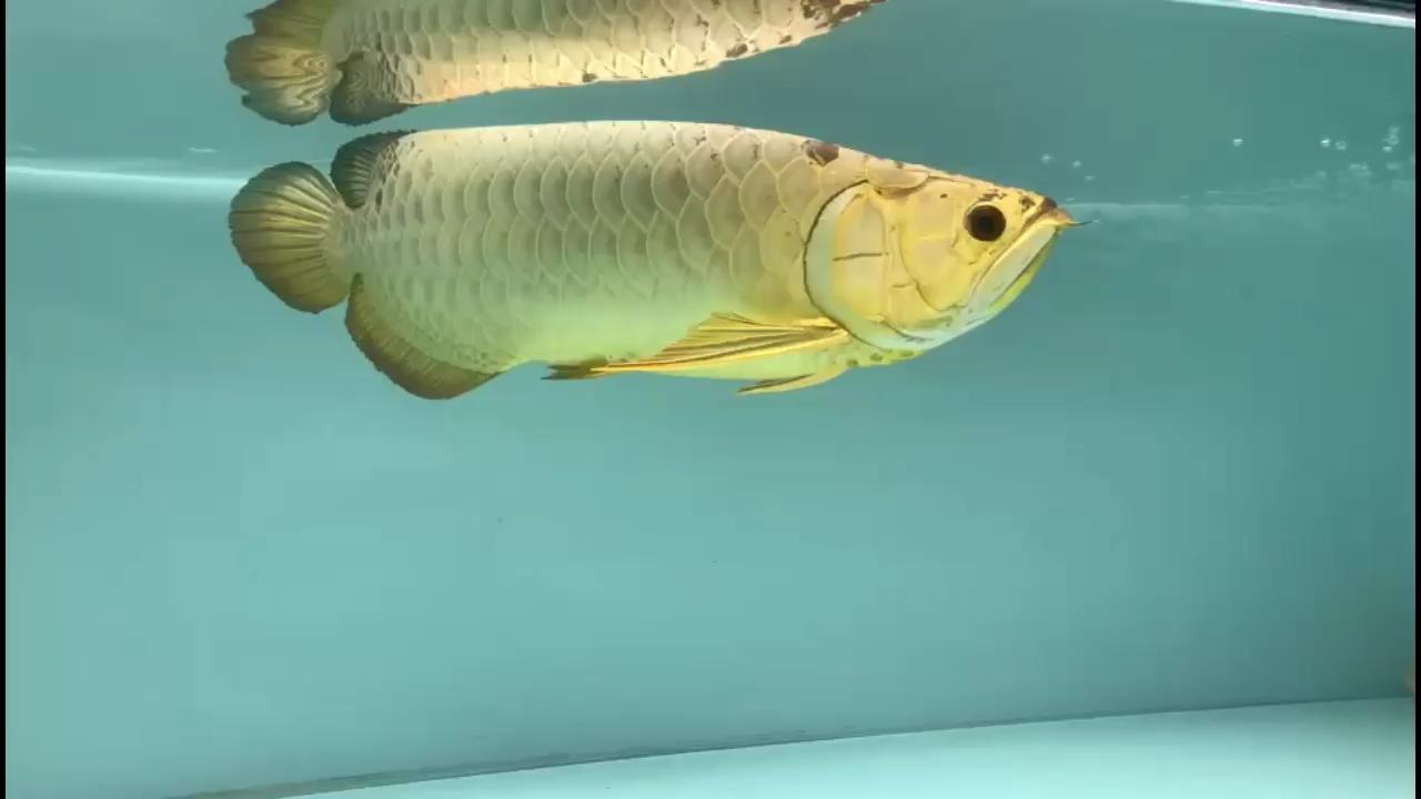 绵阳鱼缸过滤巴雷特龙魚繁殖场