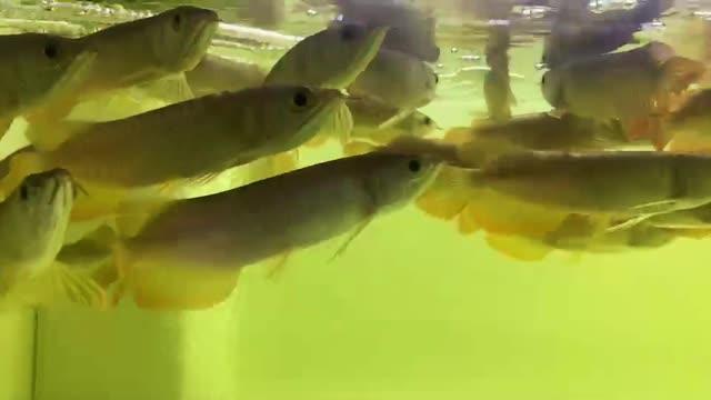 绵阳新加坡号半红龙鱼(练手红龙鱼)  绵阳龙鱼