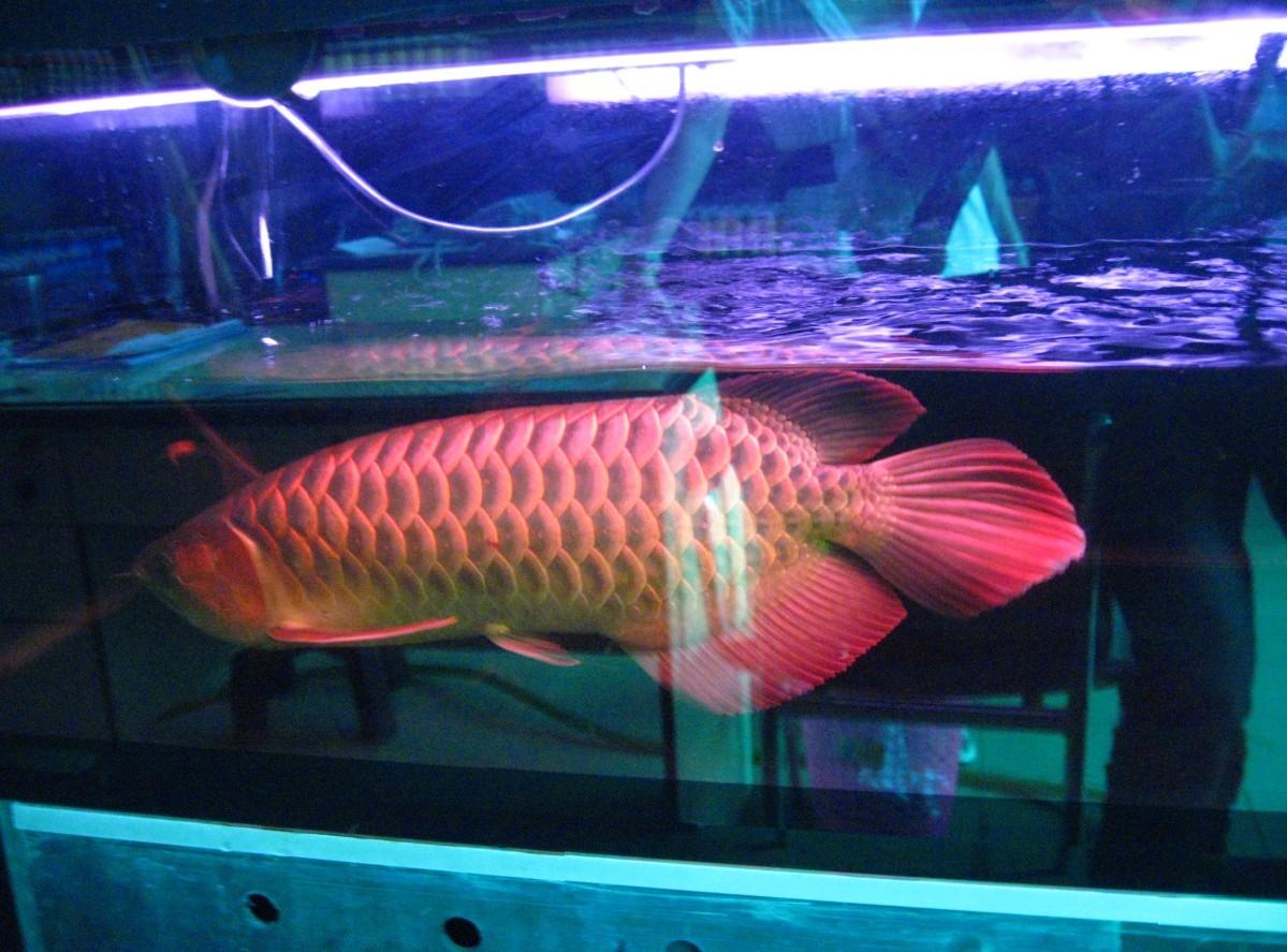 绵阳哪里买卖龙鱼到家七个月啦 绵阳水族批发市场