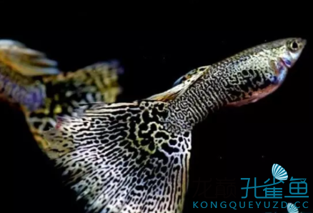 杂谈孔雀鱼的饲养小经验