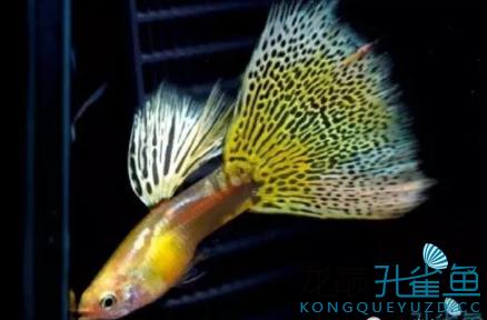 杂谈孔雀鱼的饲养小经验 绵阳水族批发市场 绵阳水族批发市场第3张