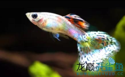 杂谈孔雀鱼的饲养小经验 绵阳水族批发市场 绵阳水族批发市场第4张