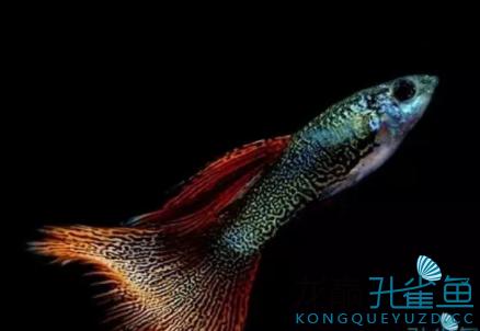 杂谈孔雀鱼的饲养小经验 绵阳水族批发市场 绵阳水族批发市场第5张