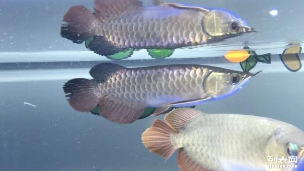绵阳观赏鱼缸订作红德萨小苗已恢复 绵阳龙鱼论坛 绵阳水族批发市场第2张