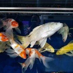 绵阳花鸟鱼虫图片喝茶看鱼有人说这是爱好 绵阳水族批发市场 绵阳水族批发市场第4张