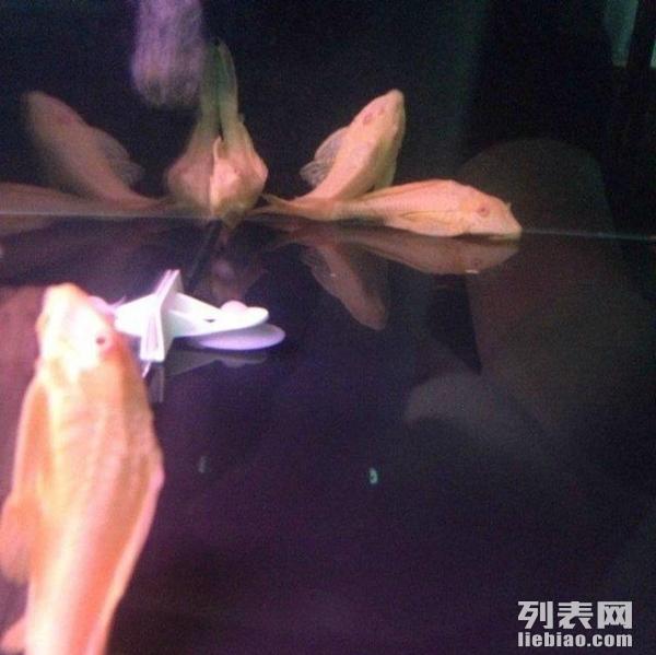 绵阳黑云(大吉大利)鱼求大神赐教 绵阳龙鱼论坛 绵阳水族批发市场第2张