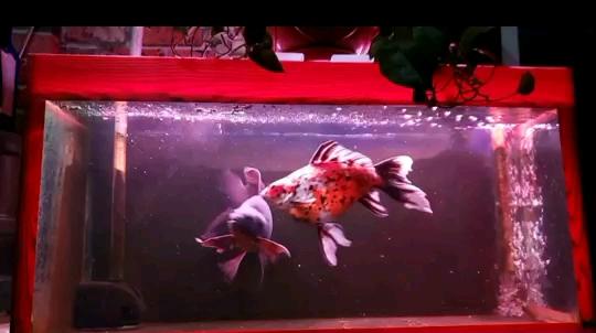 绵阳布隆迪六间价格鱼戏水中