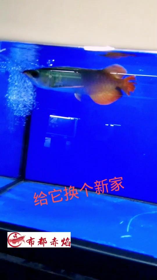 高血统红龙 绵阳龙鱼论坛 绵阳水族批发市场第1张