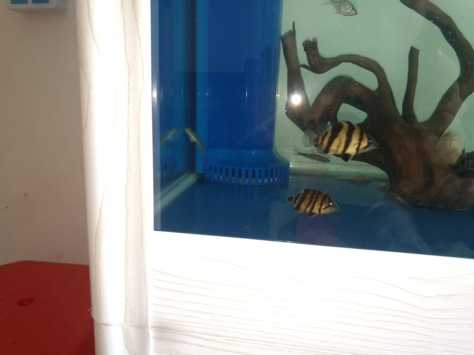 绵阳黑桃a银板鱼价格天呐小三六公分居然有半条细暗纹 绵阳龙鱼论坛