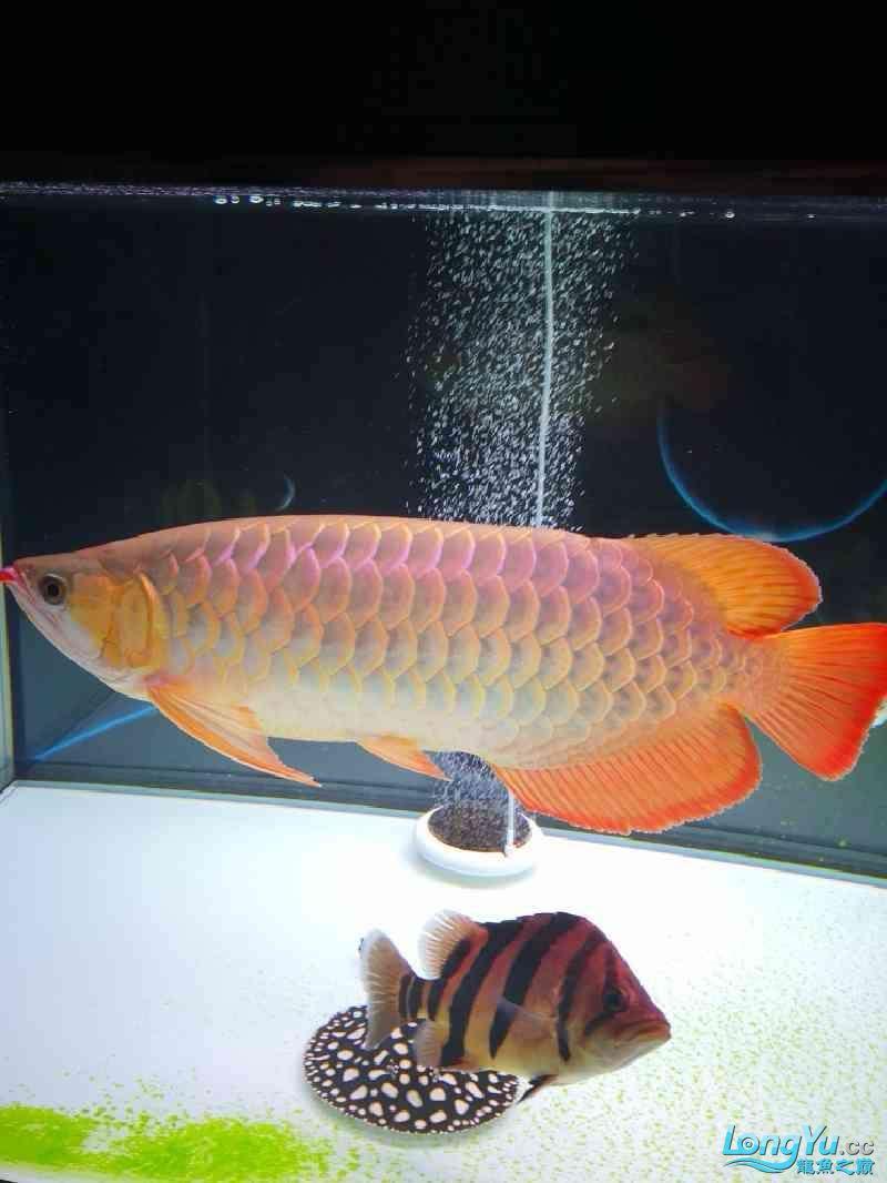 绵阳龙头寺观赏鱼到家五个月红龙留作纪念 绵阳龙鱼论坛 绵阳水族批发市场第1张