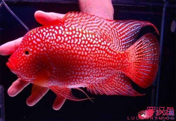绵阳白子魟鱼多少钱各种罗汉鱼图片 绵阳水族批发市场 绵阳水族批发市场第4张