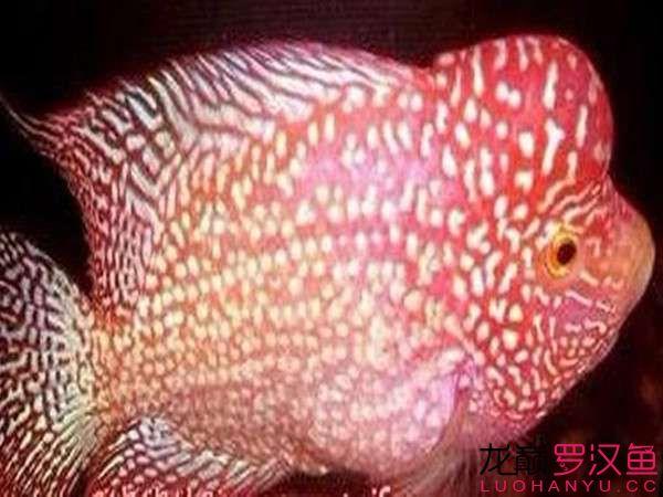 绵阳白子魟鱼多少钱各种罗汉鱼图片 绵阳水族批发市场 绵阳水族批发市场第5张