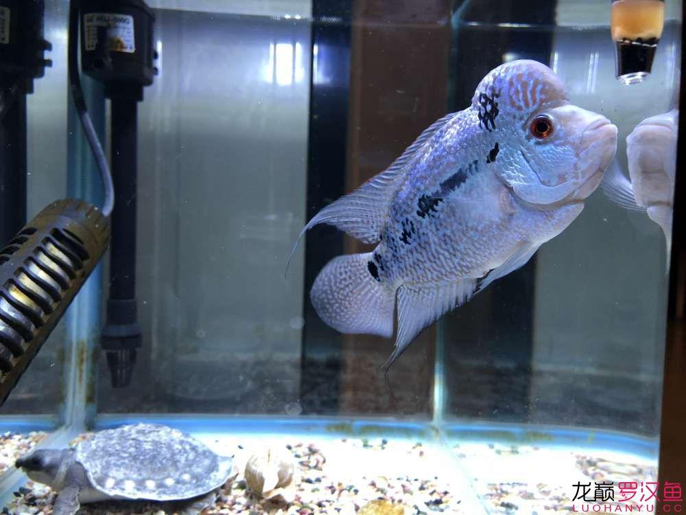 各位师兄请问这个是什么品种 绵阳龙鱼论坛 绵阳水族批发市场第3张