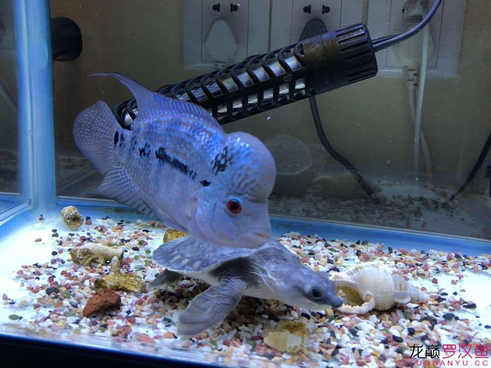 各位师兄请问这个是什么品种 绵阳龙鱼论坛 绵阳水族批发市场第4张