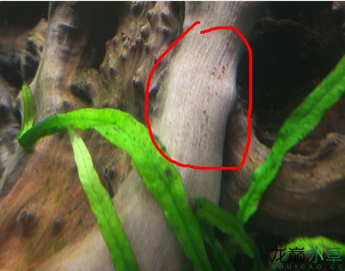 大神帮我看看 红的 黑的 藻怎么办